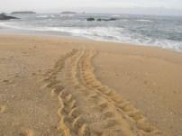 Turtle tracks!