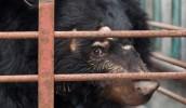 What-is-bear-bile-farming-banner-banner