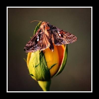 Moth on rosebud