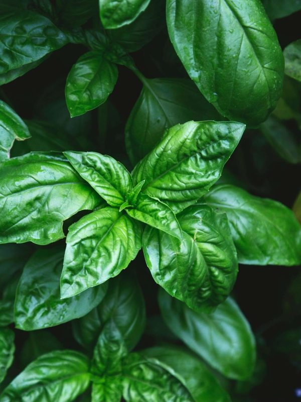 4 Easy-to-Grow Culinary Herbs Ideal for Small Spaces