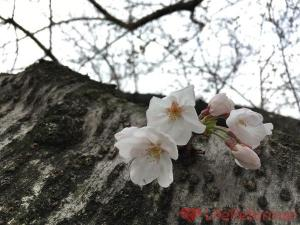 初めての桜【週刊LR】2016年3月27日