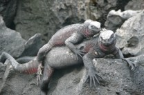Marine iguanas in mating colours