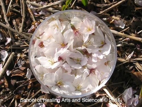 サクラの花からフラワーエッセンスを生成