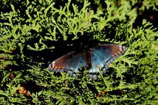 16 Sept 11 Butterfly on bush