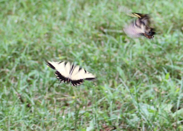 28 July 13 PM.  dancing butterflies
