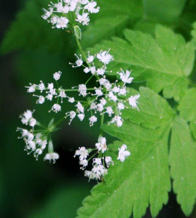 16 May 15 wild flower