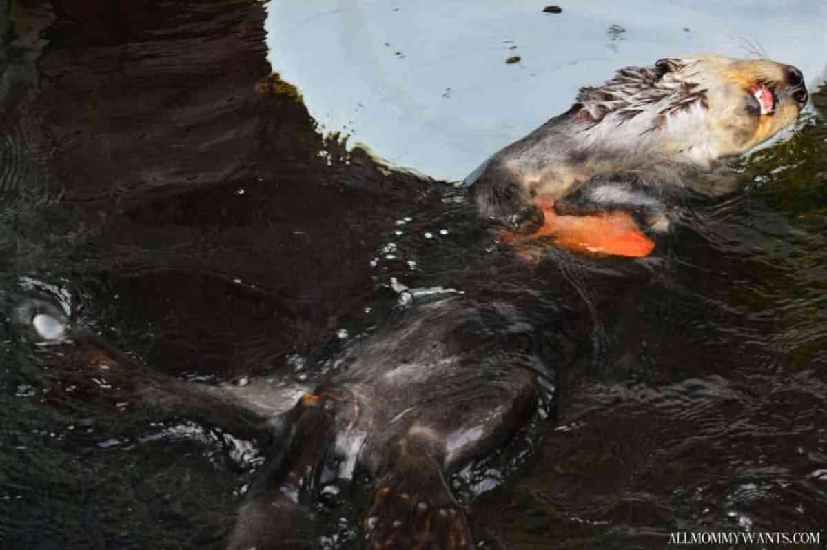 Monterey Bay Otter 2
