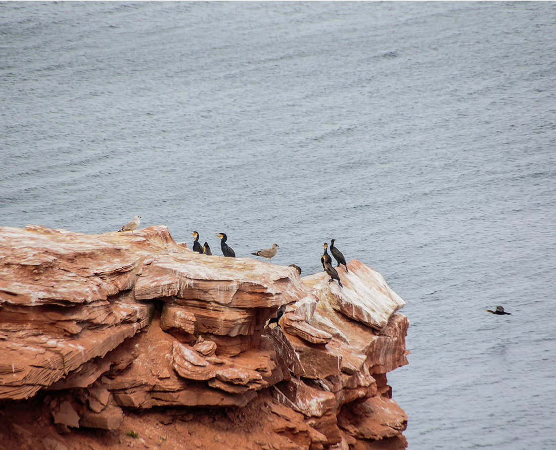 There are two types of Cormorant birds on Prince Edward Island, the Great Cormorant and the Double-crested Cormorant. Here they are nesting on the coastline of Prince Edward National Park near Rustico. There are 368 species of birds recorded on PEI. Photo Credit: Wendy Nordvik-Carr©
