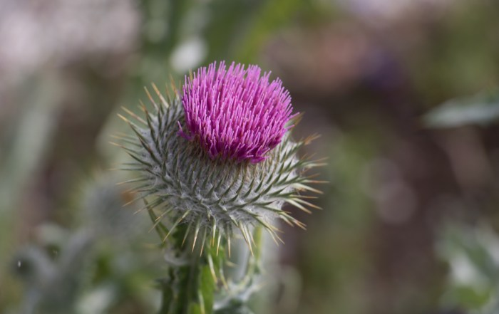Trip planning tools for Scotland - The stunning Scottish thistle is the national flower and emblem of Scotland. Photo Credit: Wendy Nordvik-Carr © View more photos wendynordvikcarr.com