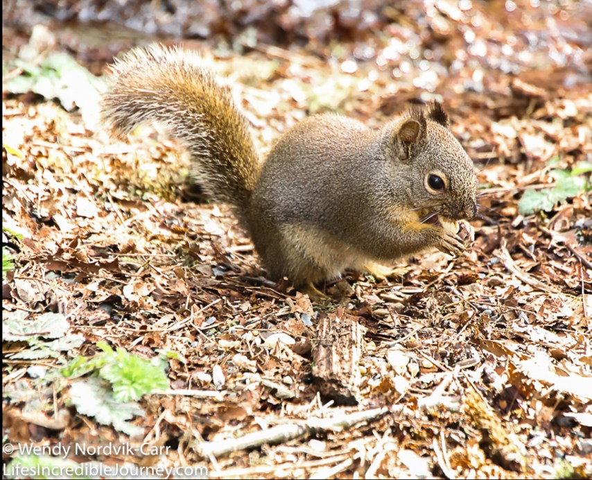 The Douglas squirrel lives on the coast regions of southern BC, Washington, Oregon and northern California. The Douglas squirrel is much smaller than the larger Eastern grey squirrels found in the city of Vancouver. This squirrel is also known as a chickaree or pine squirrel. These animals belong to the rodent family and like to eat pine seeds, berries, mushrooms, acorns and fruit. Photo Credit: Wendy Nordvik-Carr