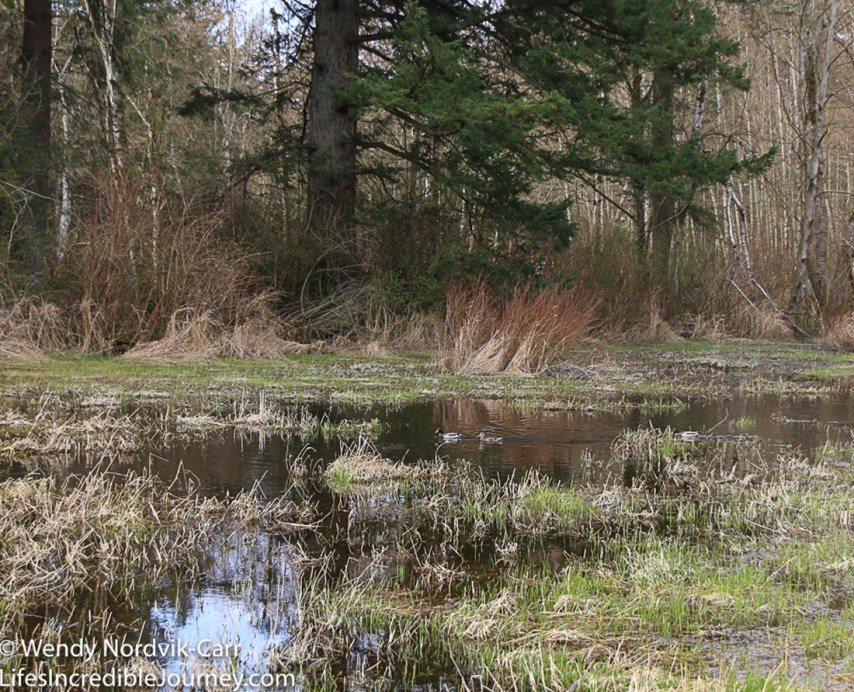 There are 29 kms of trails to enjoy in the wooded forest and marshlands of Campbell Valley Regional Park located in Langley, Metro Vancouver