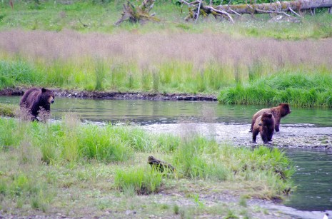 Spot a grizzly on your trip to southwestern Alaska. It is one of the top things to do in Juneau. Photo Credit: State of Alaska, Reinhard Pantke©
