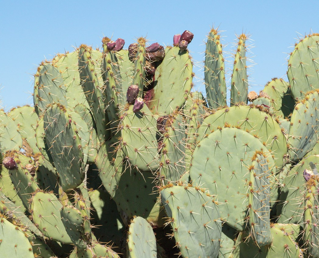 Look for prickly pear cactus. The cactus blooms usually in the spring and then again in the summer. The colourful prickly pear fruit is edible. Try a prickly pear margarita served at many establishments in the southwest. Photo: Wendy Nordvik-Carr©