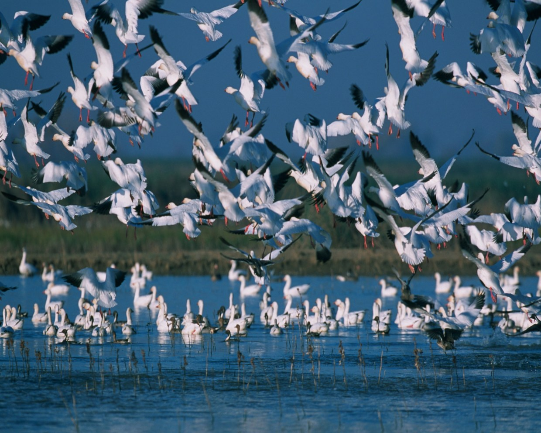 snow geese 1669935