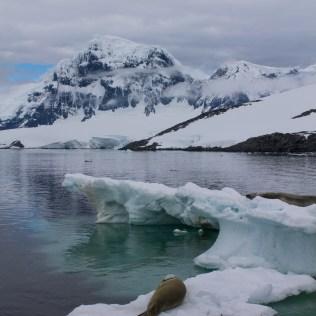 Phoque sur la glace