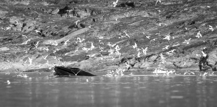 Baleines et oiseaux en quantité