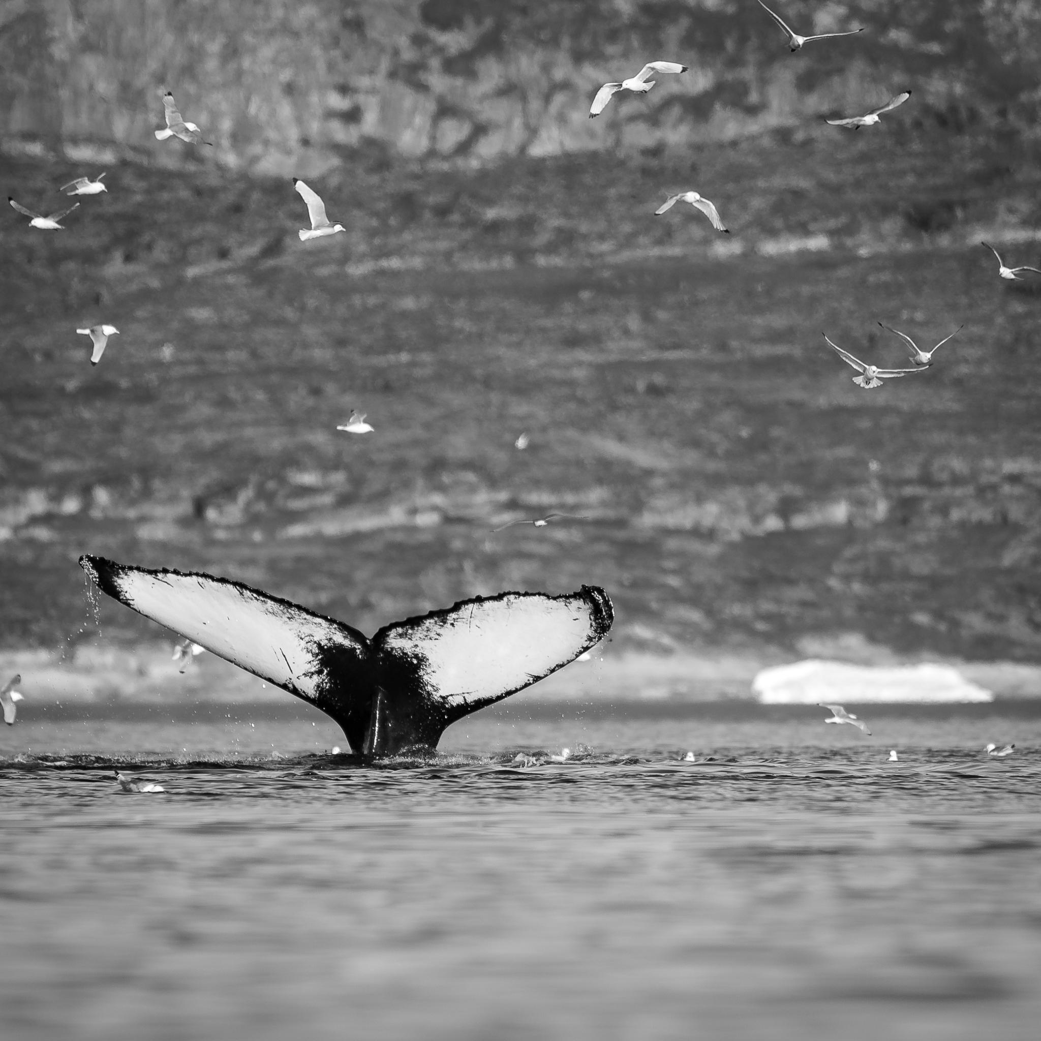 Queue de baleinelors d'une croisière en Norvège