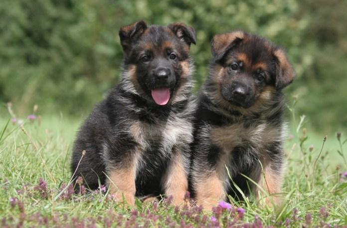 cucciole pastore tedesco