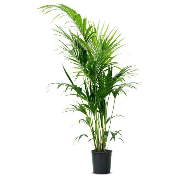 piante da appartamento alte - Kentia