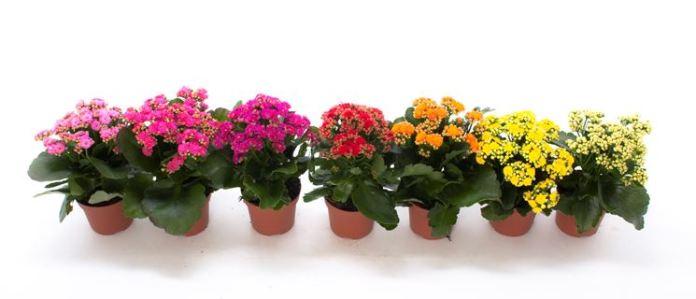 piante da appartamento con fiori - Calancola