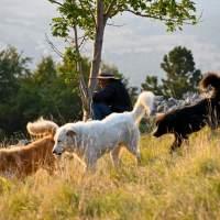 Dokumentarfilme über Herdenschutzhunde, ihre Ausbildung und ihr Job