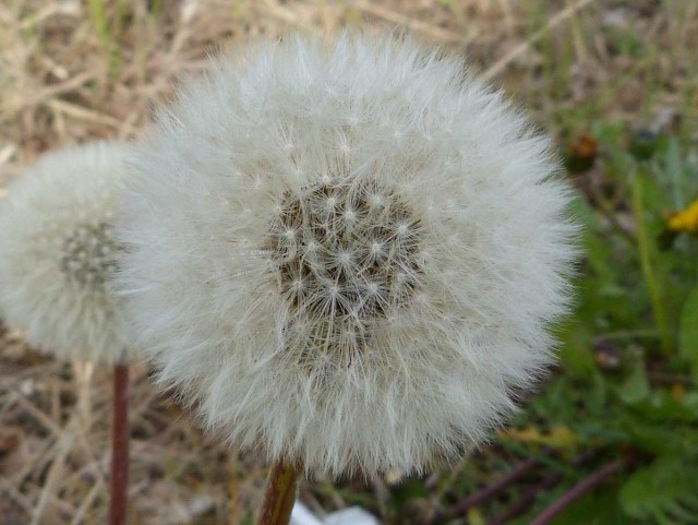 Pusteblume Blume Heuschnupfen