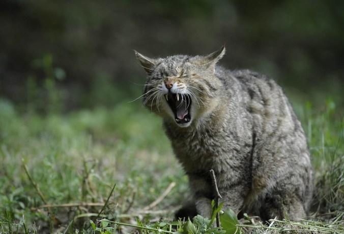 Fauchen Kater Katze