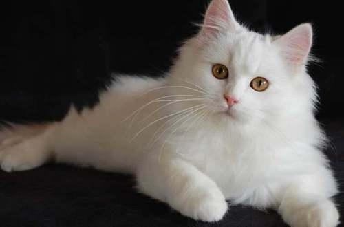 lifestyle-people.com - tips memlihara kucing anggora