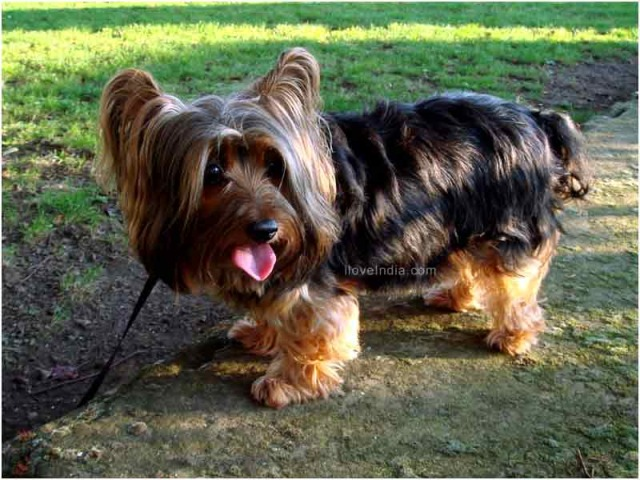 Australian Silky Terrier Dog and Puppies