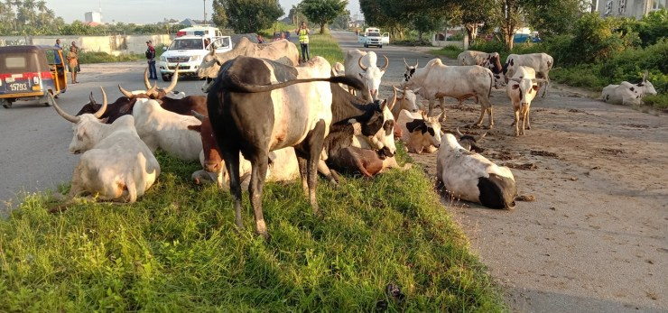 Bayelsa task force impounds 34 cows over anti-open grazing law