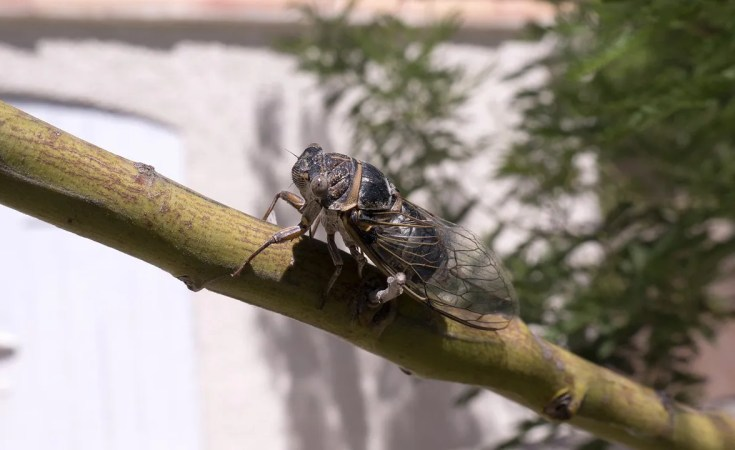 Cicada - Common Summer Insects
