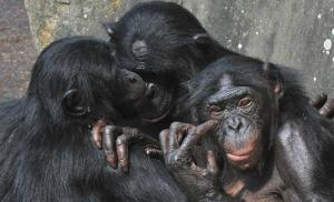 121008_SCI_bonobos.jpg.CROP.rectangle3-large