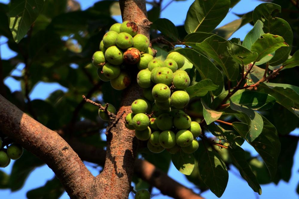 गूलर के फल