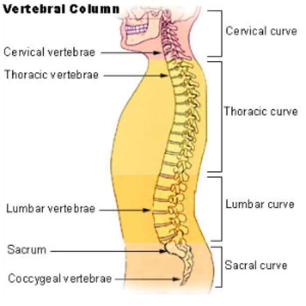 Drawing of vertebrae