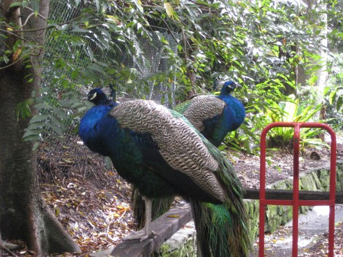 A few feet away from the ferns were four peacocks. You could literally just reach out and touch them if you wanted to