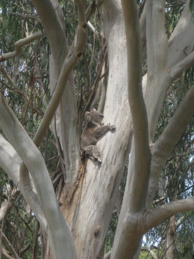 After lunch we stopped briefly at a known Koala habitat