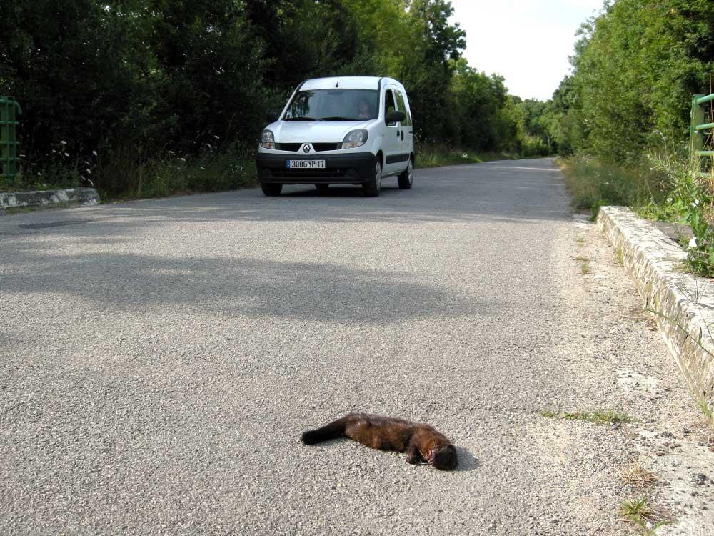 petit mustélidé victime d'une collision routière, une des principales menaces pesant sur le Vison d'Europe