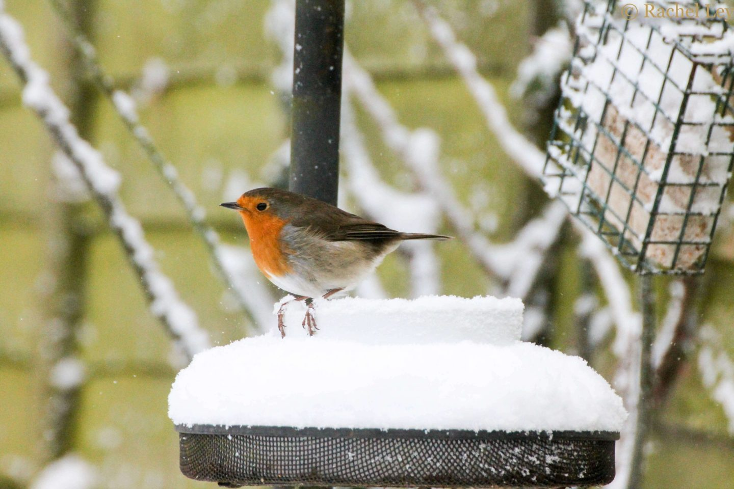 robin sat on a white bowl on a bird table in the snow