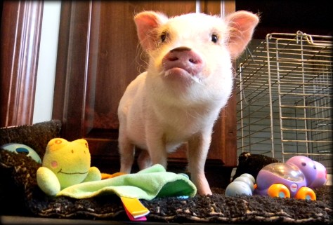 Toys for Mini Pigs | Life with a Mini Pig