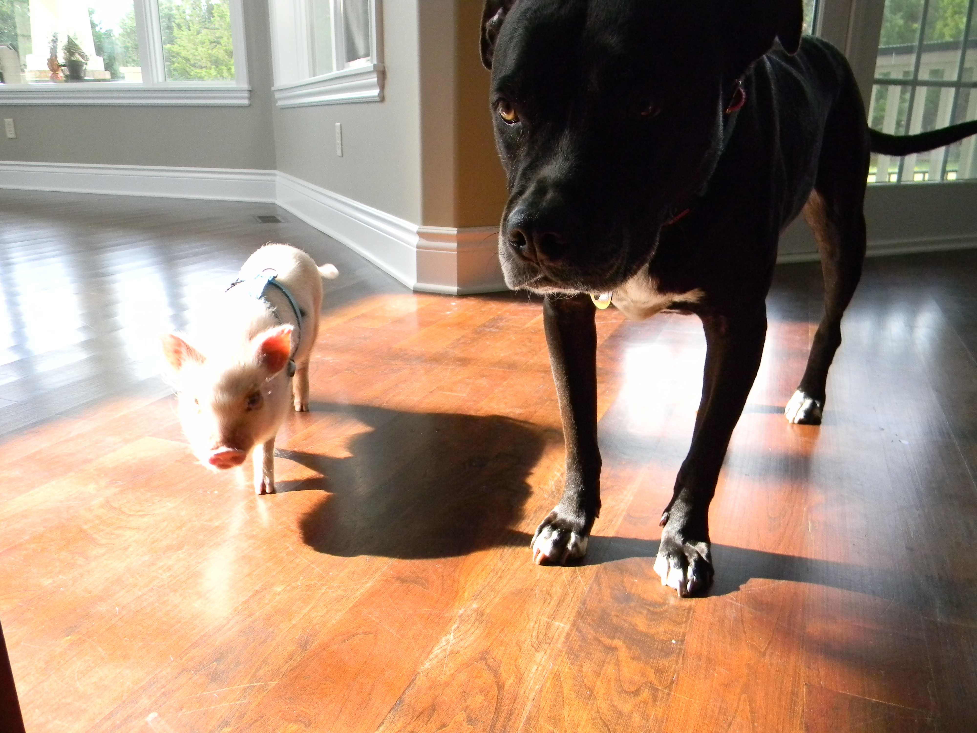 mini pig frequently asked questions faqs life with a mini pig