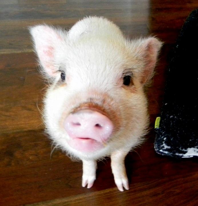 Black Pot Belly Pig Face