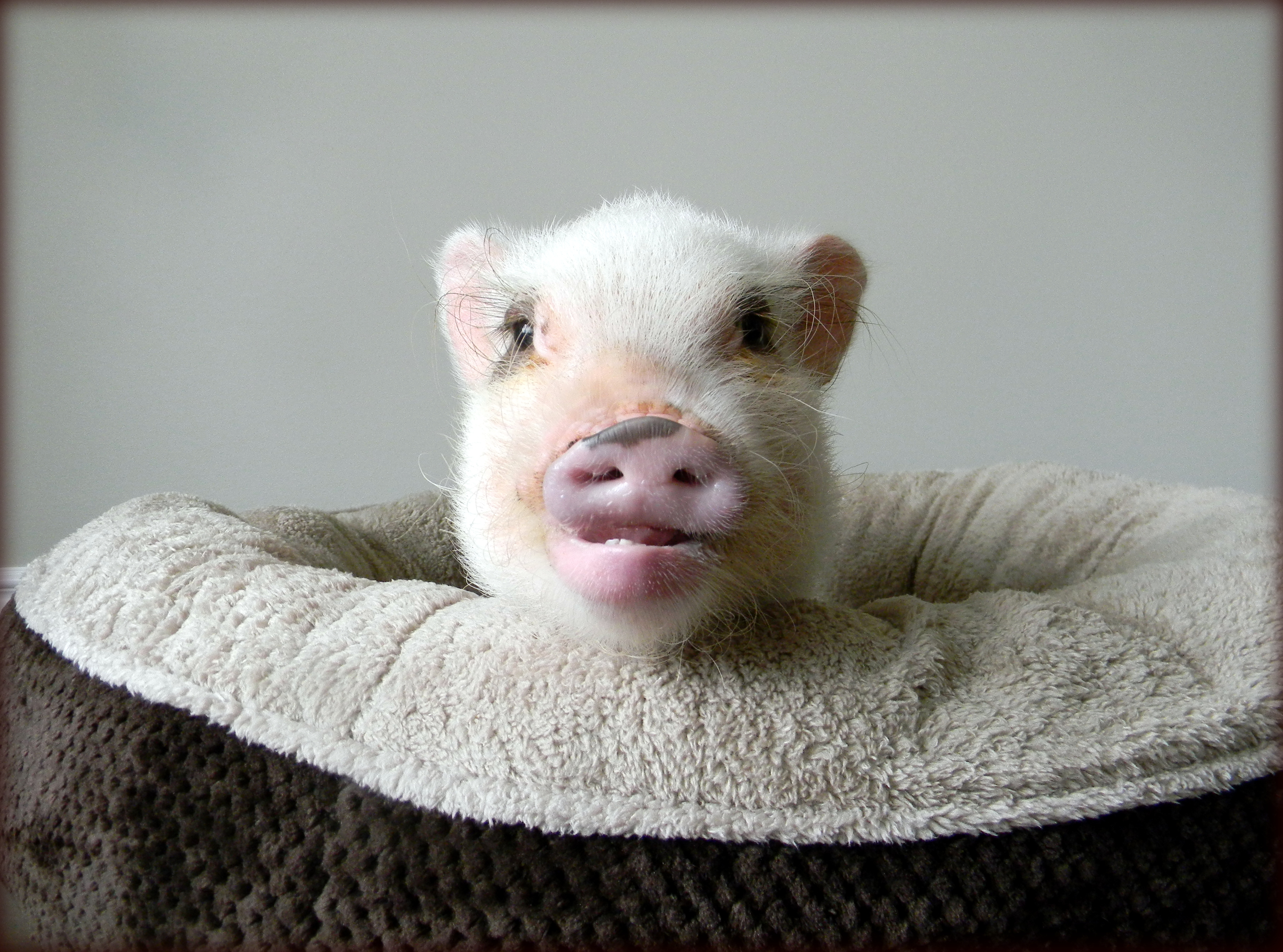 Bonding With Your Mini Pig Life With A Mini Pig