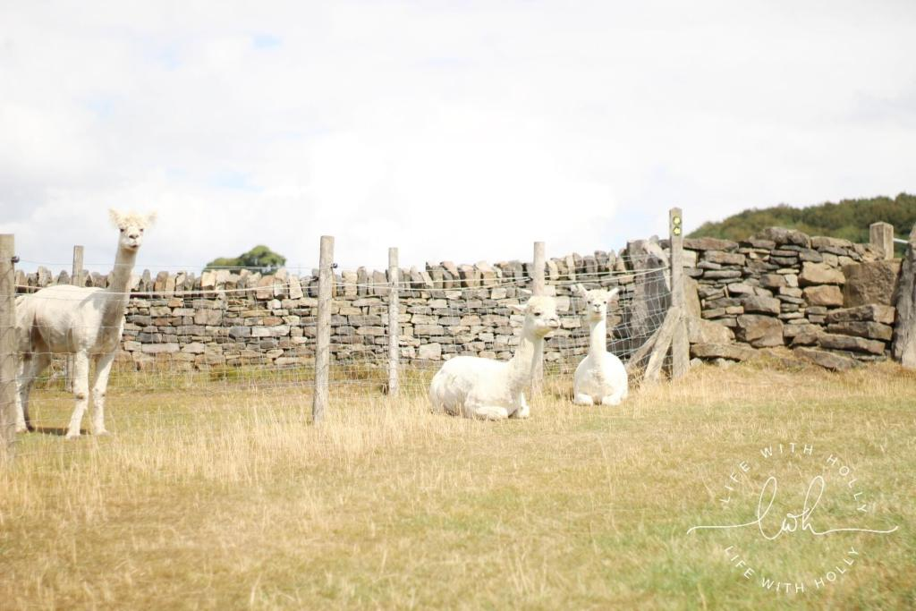 White Alpacas - Summer Walks - Life with Holly