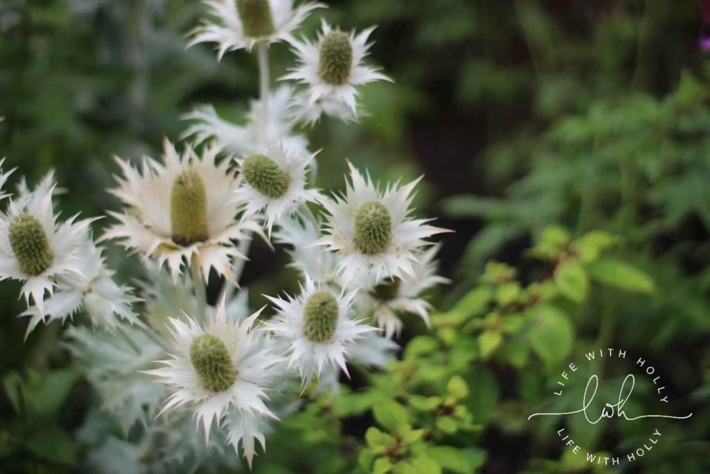 Sea Holly - Eryngium - Harewood House - Day Trip - Life with Holly