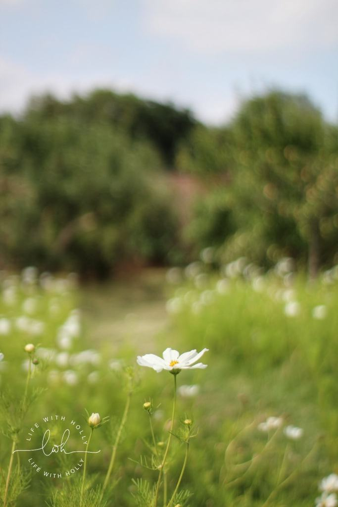 White Cosmos - Harewood House - Seeds of Hope Exhibition - Life with Holly Blog