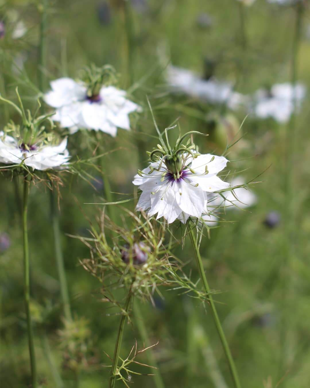 north east facing garden ideas - white garden ideas - white Nigella