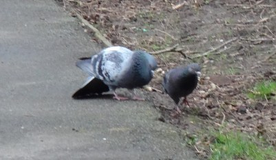Courting Pigeons
