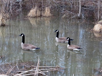 Canadian geese, here all year round