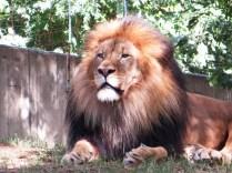 A stately lion, no less
