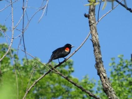 Red-winged Blackbird on Roosevelt Island